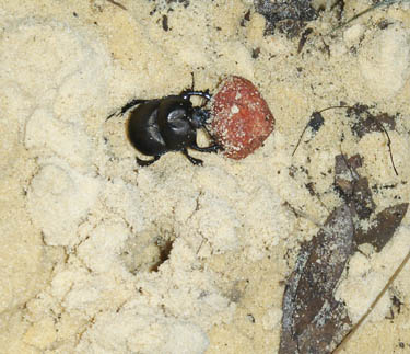 Micotrupes lethroides